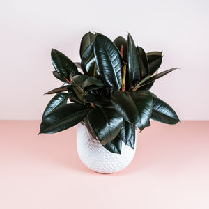 "6"" Burgundy Rubber Tree - Ficus decora"