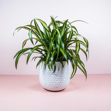 "Load image into Gallery viewer, 6"" Hawaiian Spider Plant - Chlorophytum comosum"