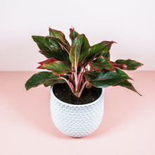 "Load image into Gallery viewer, 6"" Siam Aglaonema"