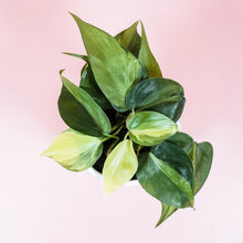"Load image into Gallery viewer, 4"" Brasil Philodendron Cordatum"