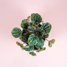 "Load image into Gallery viewer, 4"" Green Ripple Peperomia - Peperomia caperata"