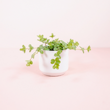 "Load image into Gallery viewer, 2"" Peperomia deppeana"