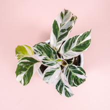 "Load image into Gallery viewer, 4"" Calathea White Fusion - Calathea leitzei"