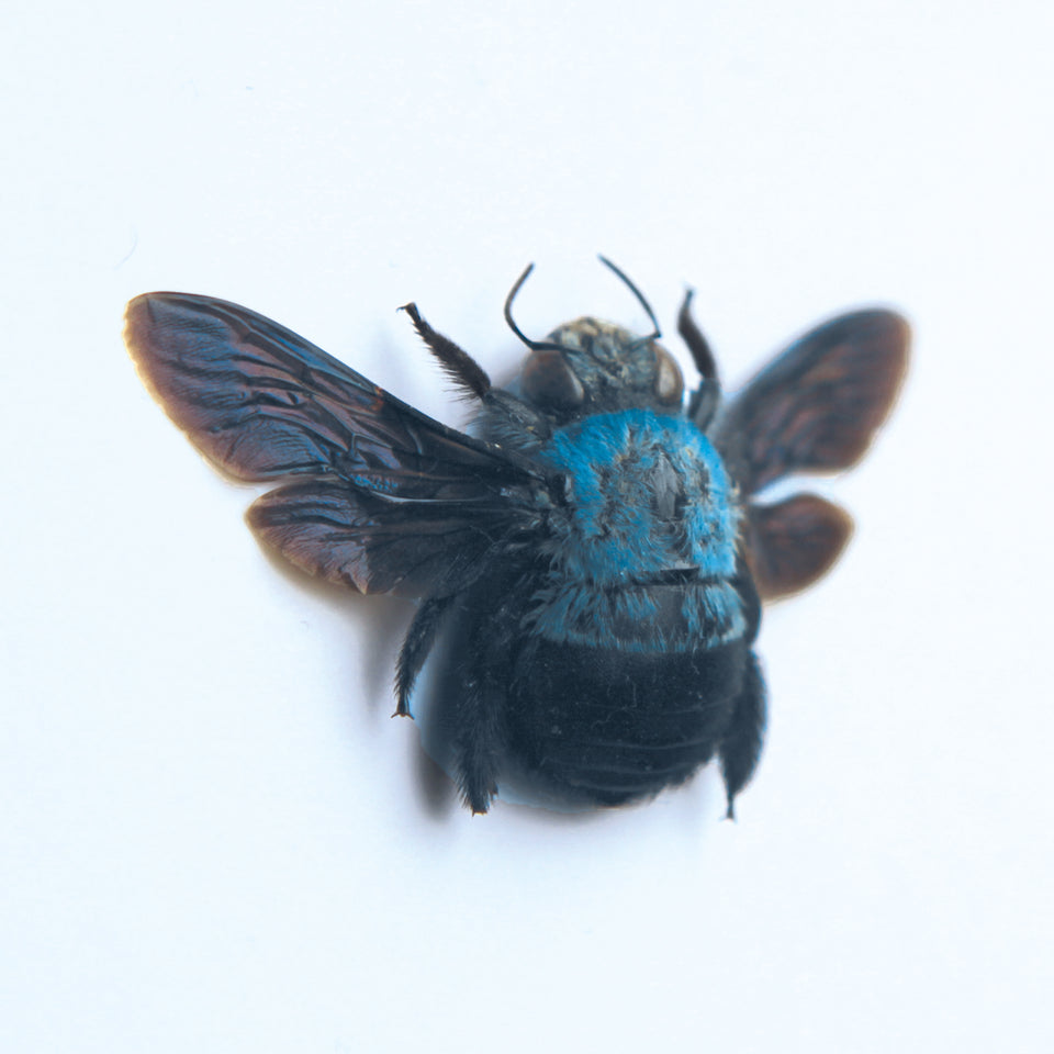 Blue Carpenter Bee (XYLOCOPA CAERULEA)