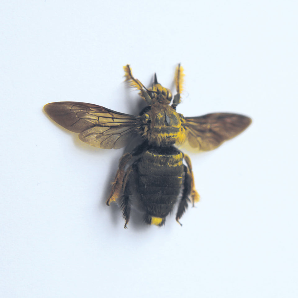 Golden Carpenter Bee (XYLOCOPA VARIPUNCTA)
