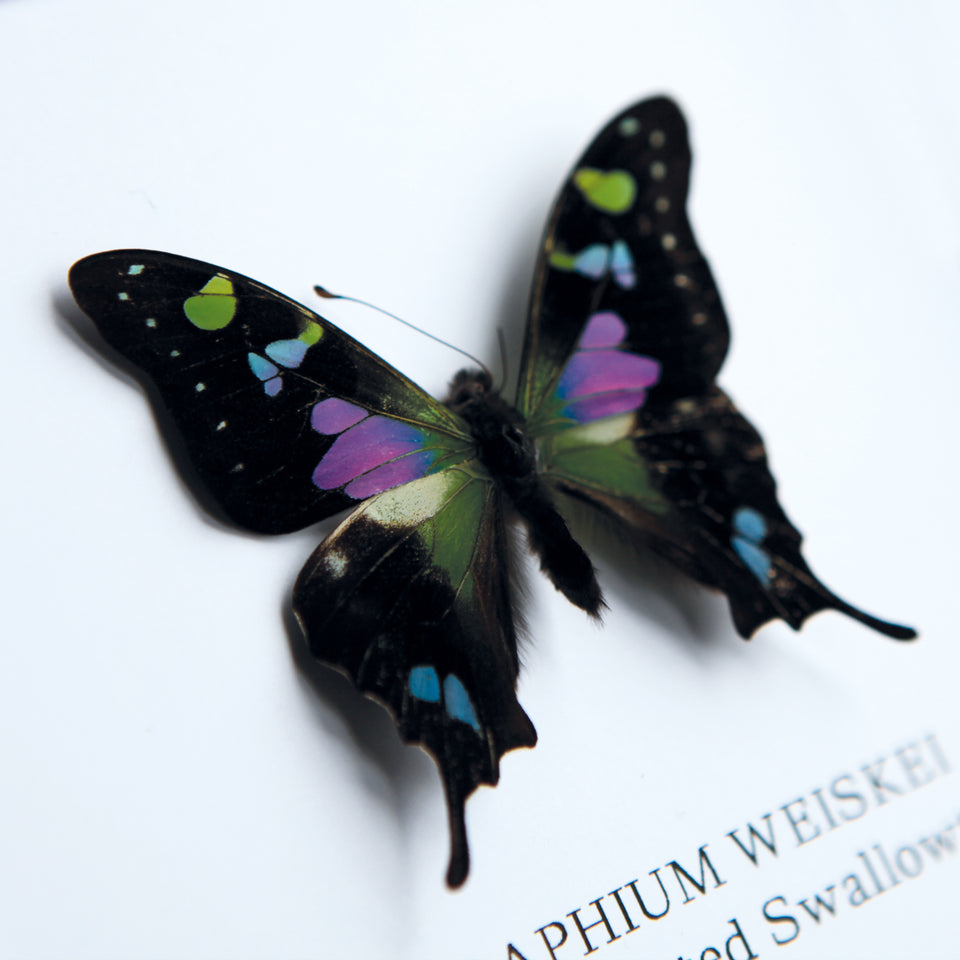 Purple Mountain Swallowtail (GRAPHIUM WEISKEI)