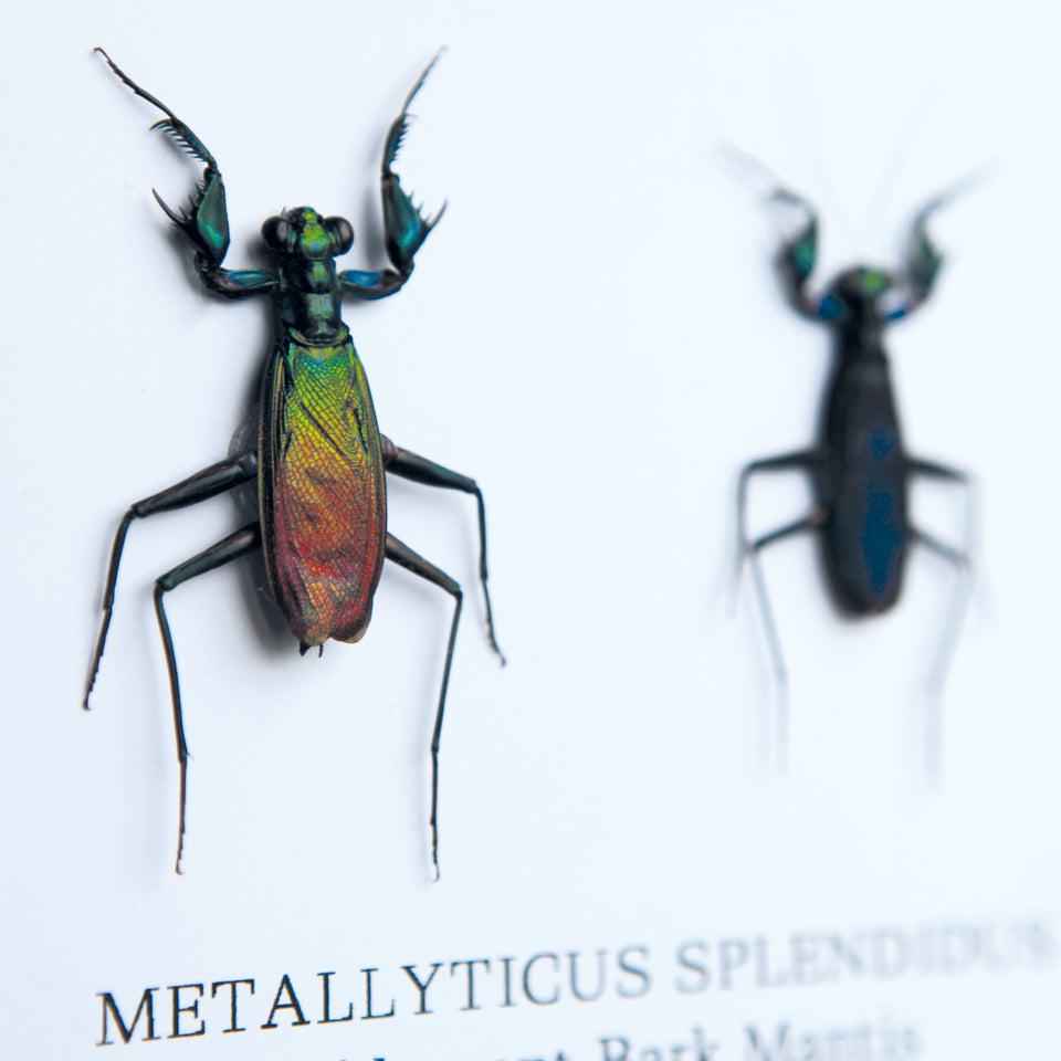 Metallic Praying Mantis Pair (METALLYTICUS SPLENDIDUS)