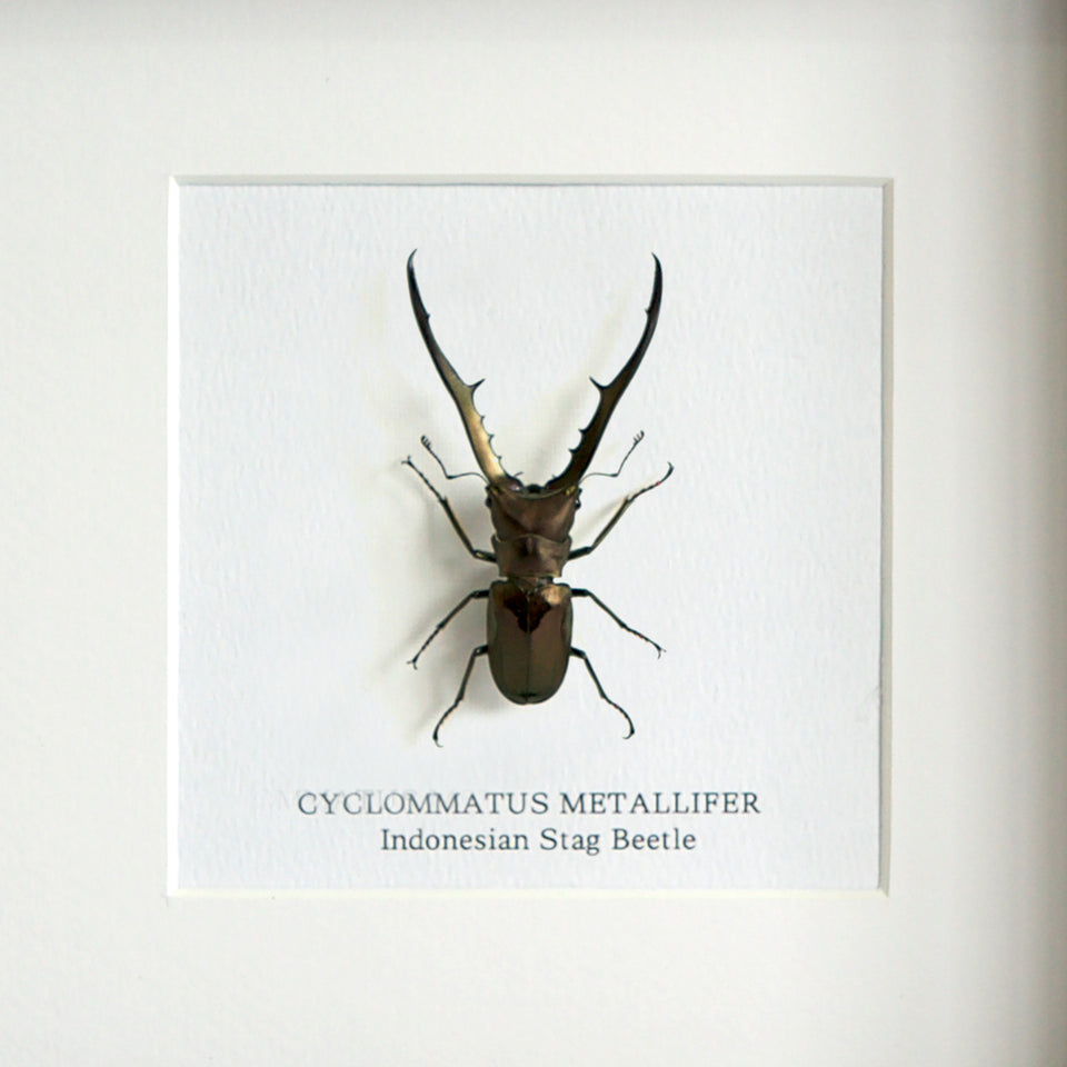 Indonesian Stag Beetle (CYLOMMATUS METALLIFER)