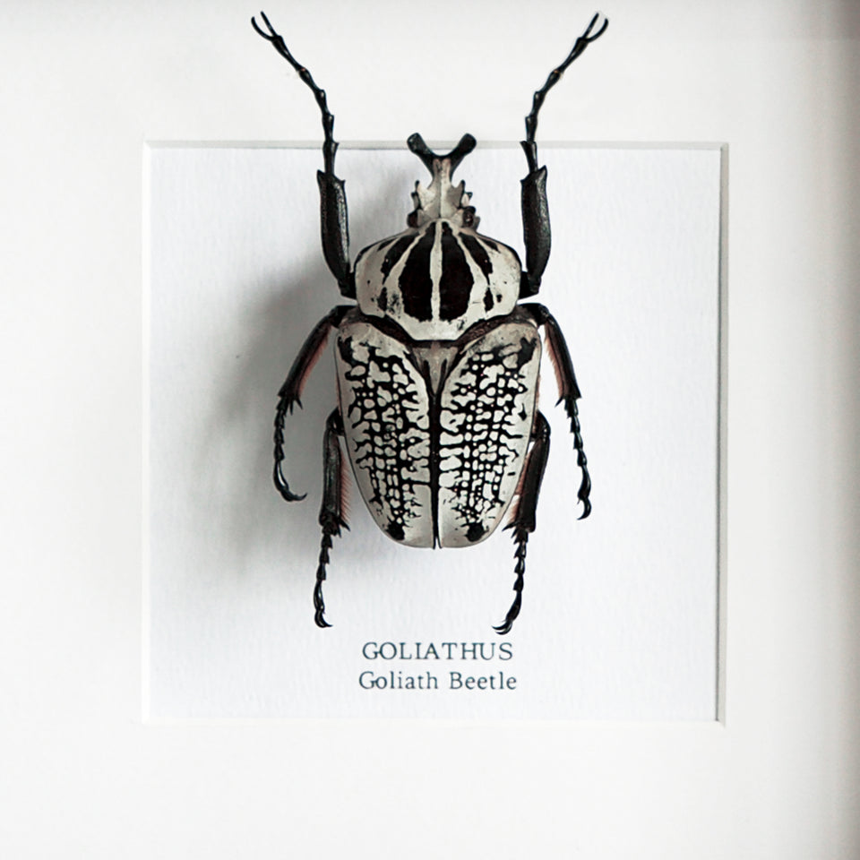 Large Goliath Beetle (GOLIATHUS)