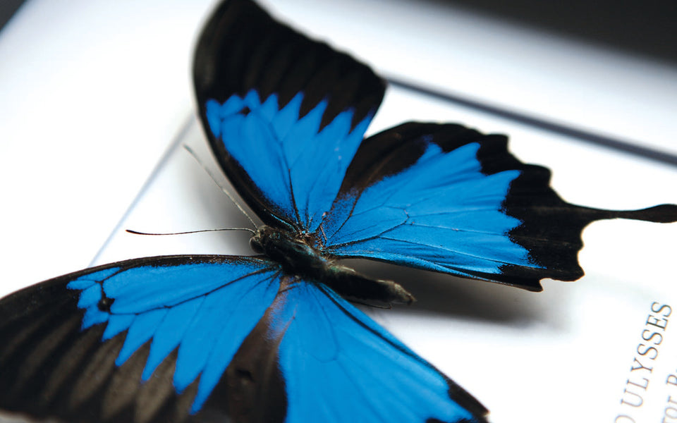 Blue Emperor Butterfly (PAPILIO ULYSSES)