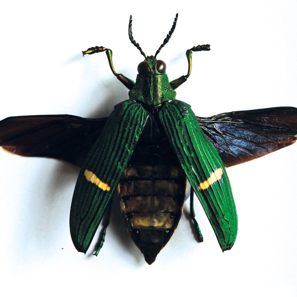 Green Jewel Beetle (CATOXANTHA OPULENTA)