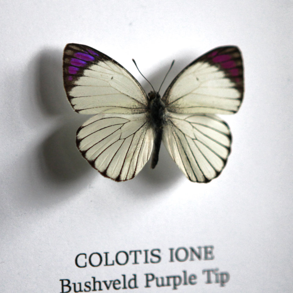 Bushveld Purple Tip (COLOTIS IONE)