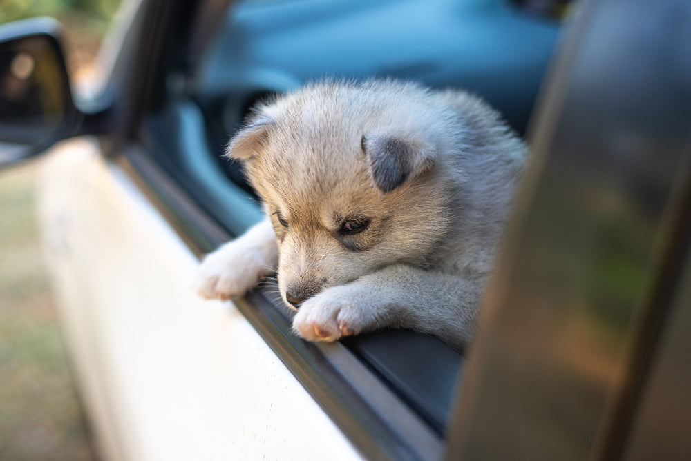 Dizzy dogs: how to prevent a puppy from getting motion sickness