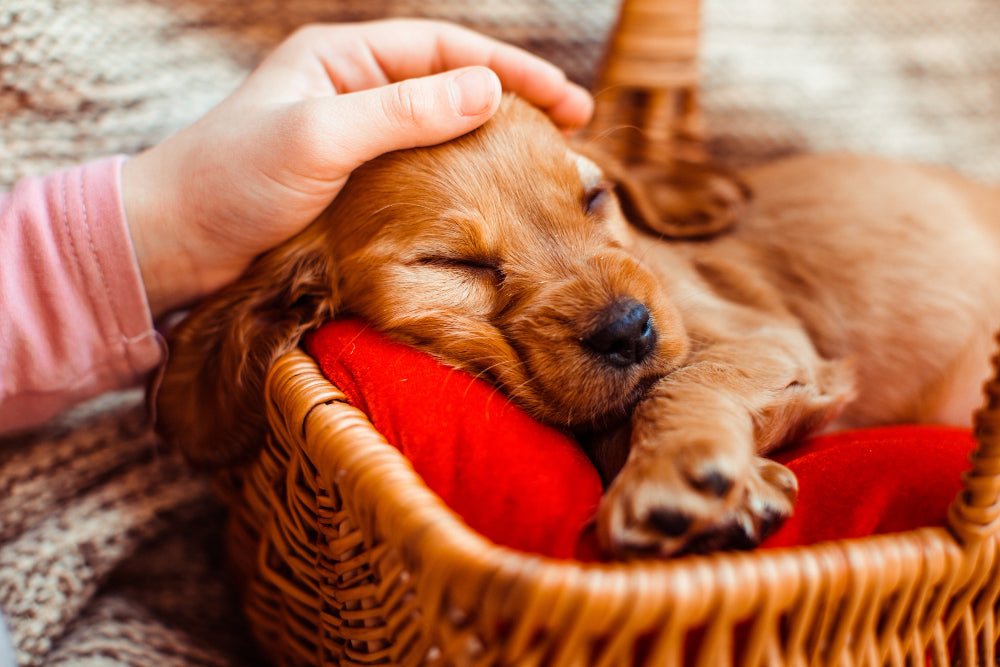 What to buy for a puppy: 10 essentials for puppies