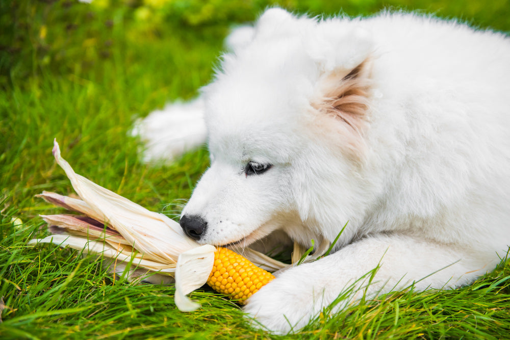 Can a dog eat corn? Human food a dog can or can not eat
