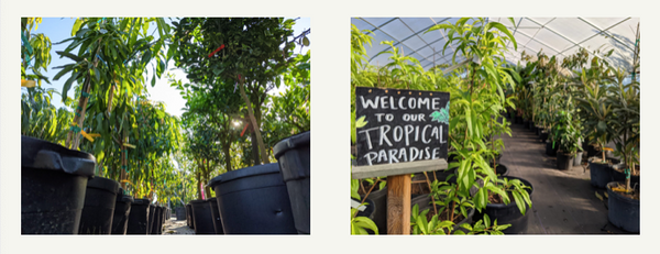 Tropical Fruit Trees for Sale