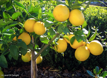 Load image into Gallery viewer, Bearss Lemon Tree (LOCAL PICKUP ONLY)