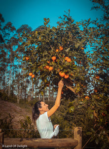 Woman Reaching up and picking oranges from Red Navel Orange Tree