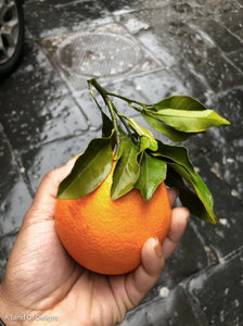 Hamlin Orange Tree (LOCAL PICKUP ONLY)