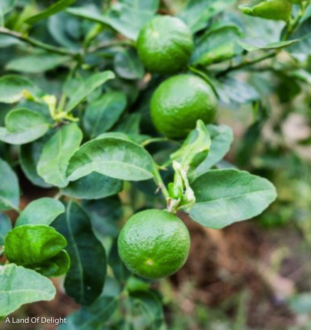 Key Lime Tree (LOCAL PICK-UP ONLY)