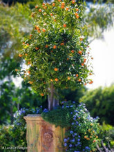 Load image into Gallery viewer, Small Kumquat Mewia Tree in Pot with purple flowers