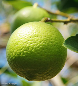 close up of Persian Lime growing on tree