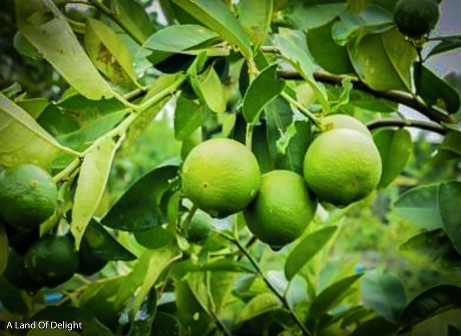 Persian Limes Growing on Tree  Branch