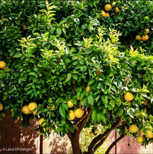 Load image into Gallery viewer, Ponderosa (Giant) Lemon Tree (LOCAL PICK-UP ONLY)