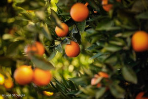 Red Navel Orange Trees with Fruit