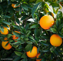 Load image into Gallery viewer, Red Navel Oranges Growing on Tree