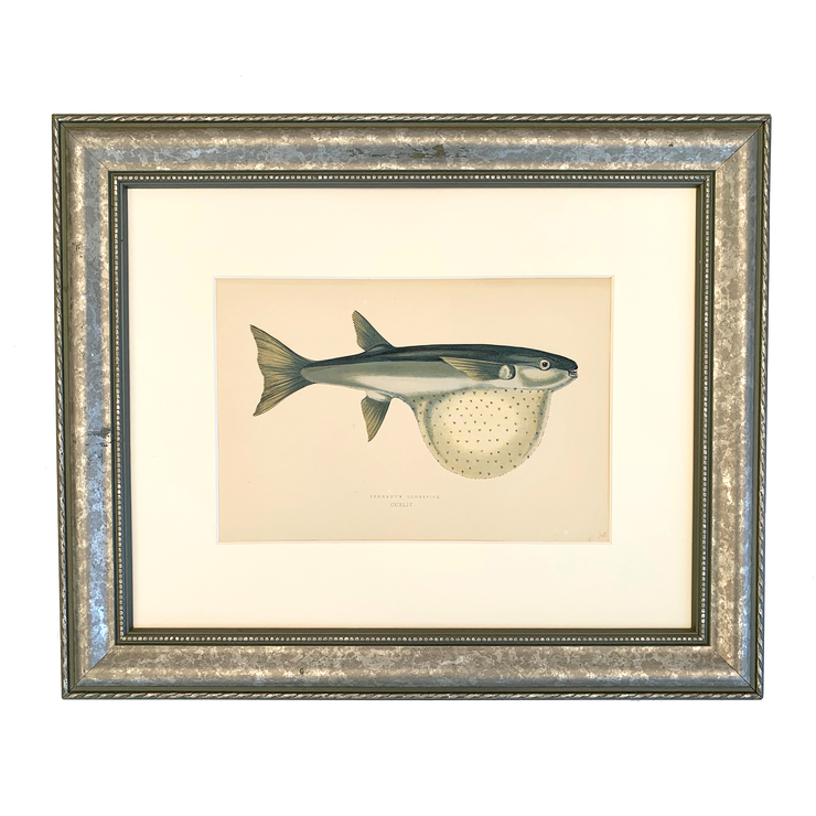Set of 3 Framed Vintage Victorian fish prints - Pennant's Globefish,  c.1850 - Common Thread Style