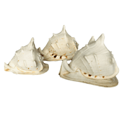 3 Vintage Conch Queen Helmet Cassis Cornuta Large Sea Shells - Common Thread Style