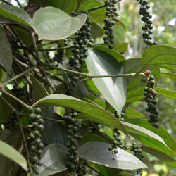 Black Pepper Organic (Piper nigrum) Sri Lanka