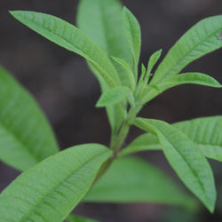 Lemon Verbena (Lippia Citriodora) France