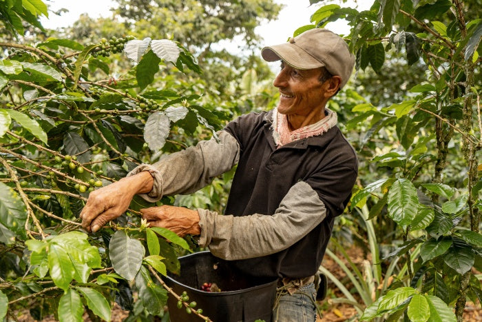 Colombian coffee farmer picking specialty cherries from tree during harvest season