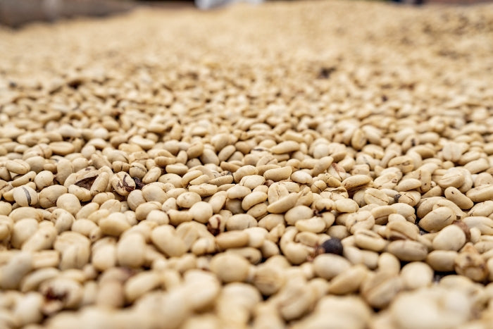 Closeup of beans drying on patio in Colombian coffee triangle