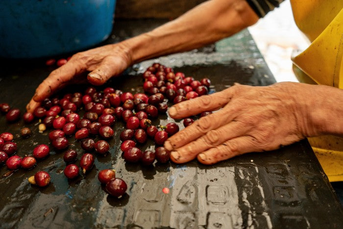 Coffee producer sorting harvested batch of arabica coffee beans