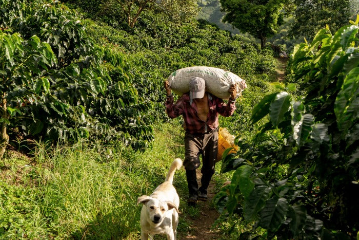 Colombian coffee farmer walking with dog and sack of arabica coffee beans on back