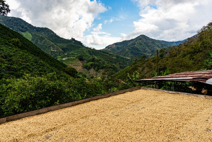 Photograph of Colombian coffee beans drying in the sun on farm