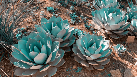 Agave Cluster Sonoran Desert Photography