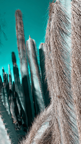 Arizona Winter Collection Photography - Pipe Cactus Digital Download