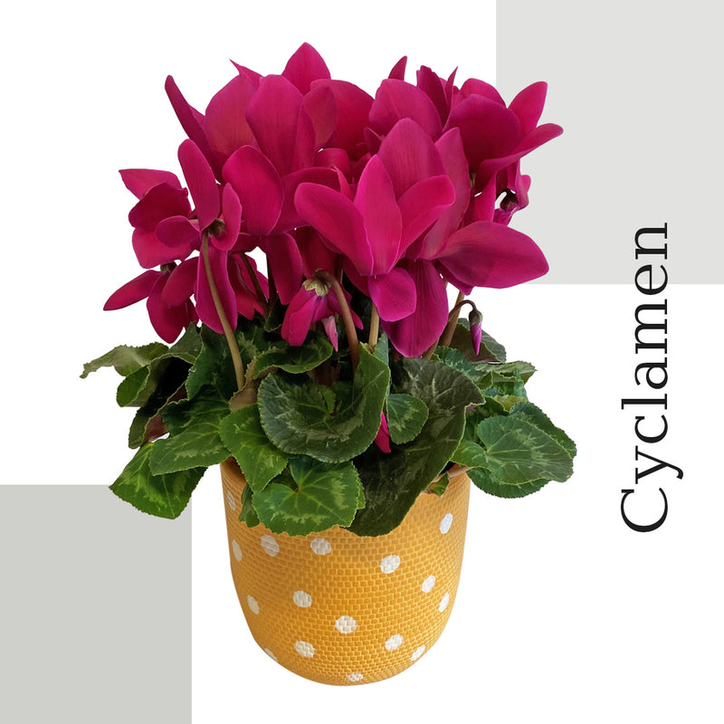 Cyclamen Colour
