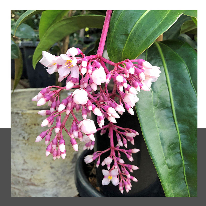 Medinilla Giant Chandelier Plant 200mm