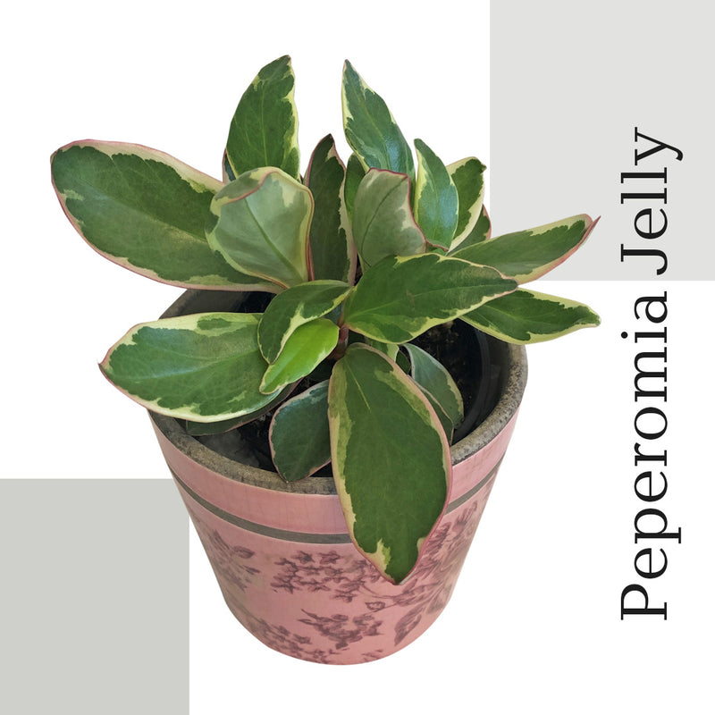 Peperomia Jelly