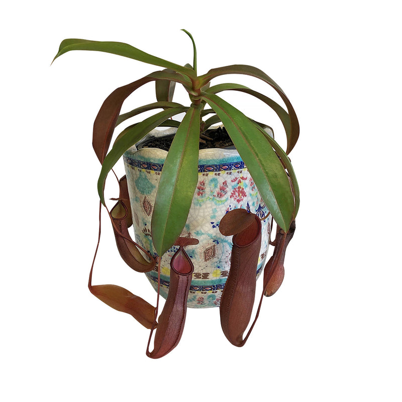Red Form Pitcher Plant Nepenthes Sanguinea
