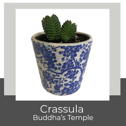 Crassula Buddha's Temple at Poppy's Home and Garden Newcastle