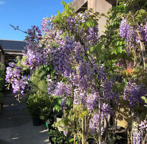 Chinese Wisteria at Poppy's Home and Garden Newcastle