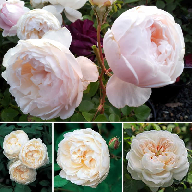 David Austin Glamis Castle Rose
