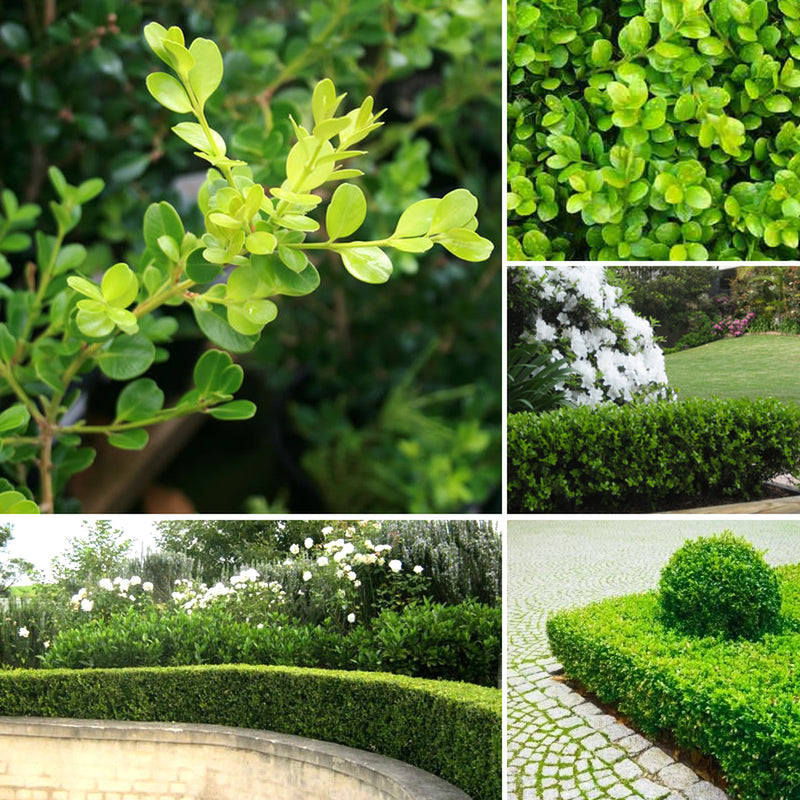 Buxus Microphylla Japanese Box