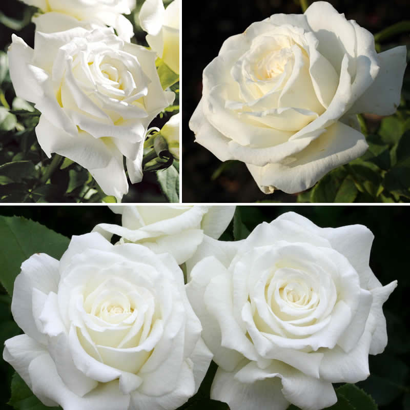 Pope John Paul II Rose